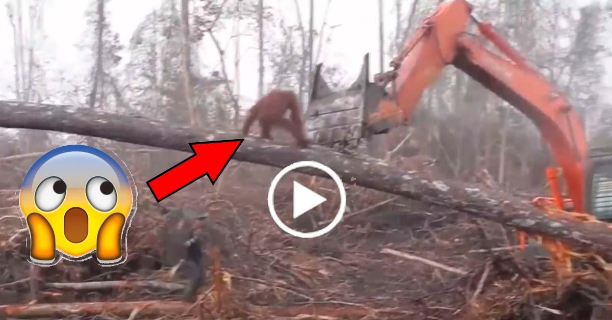 excavadora y orangutan peleando